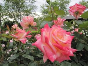 ピンクのバラ画像