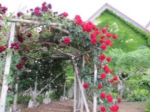赤バラ画像
