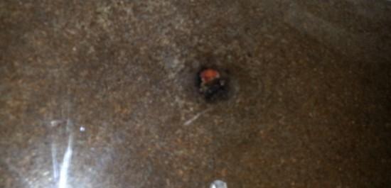 カブトムシ蛹